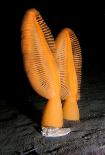 Bright orange Sea Pens look like leafs, resting on the mud bottom.