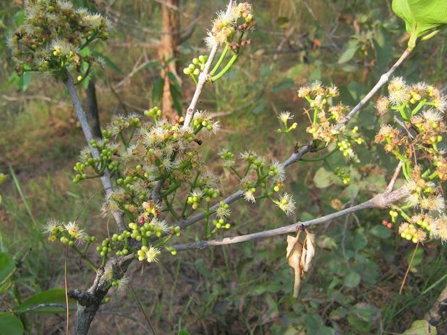 Hoa Cây Vối - Cleistocalyx operculatus - Nguyên liệu làm thuốc Chữa Bệnh Tiêu Hóa