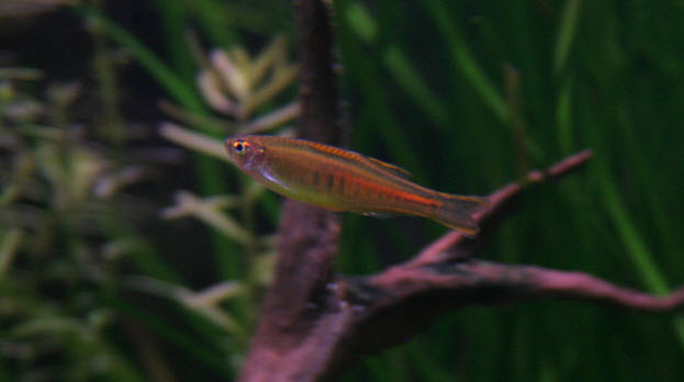 Danio choprae or choprai - Glowlight danio - Aquarium Picturesq