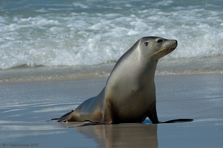 The Australian Sea Lions | Information & Images | The Wildlife