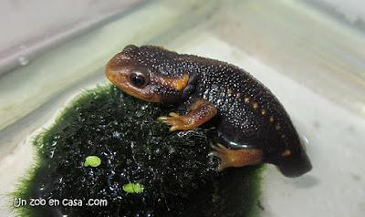 Tylototriton verrucosus