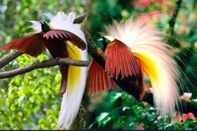 Gambar Fauna Burung Cendrawasih Papua Indonesia