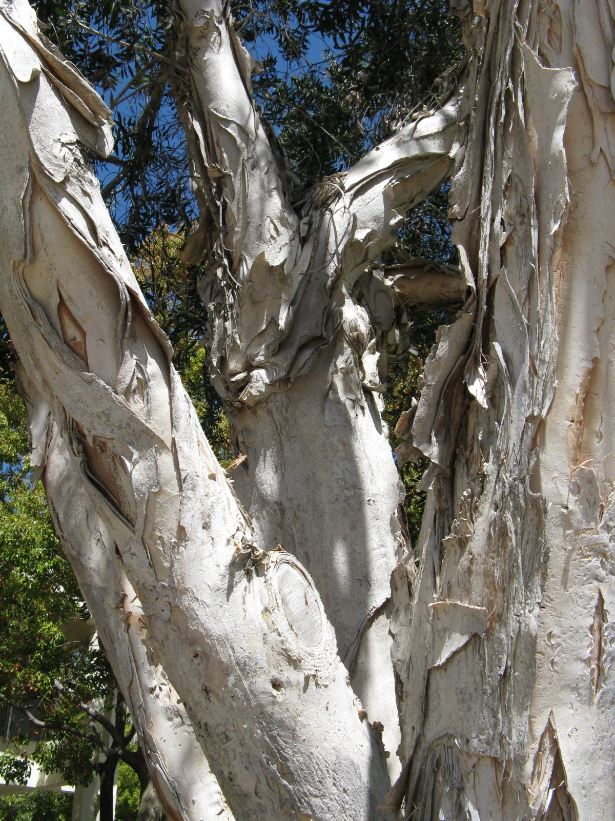 Cajeput Tree: Trees Of Santa Cruz County: Melaleuca Quinquenervia