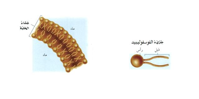 الغشاء الخلوى فسفولييبيد الإسترويدات
