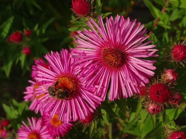 hoa thach thao hong