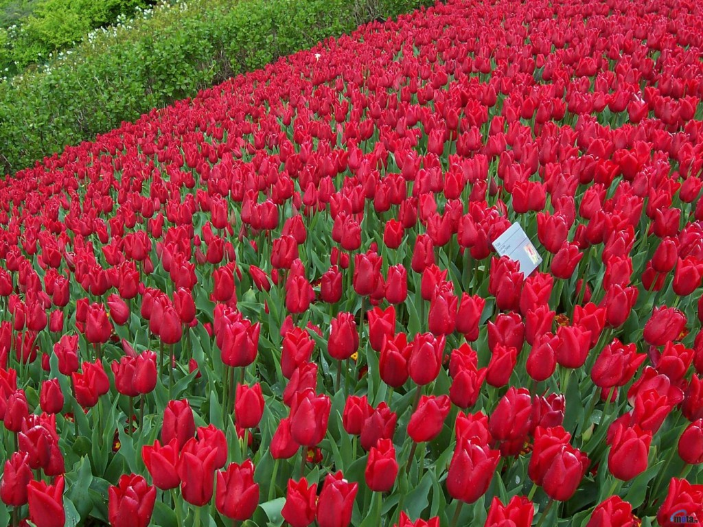 Beautiful Red Rose Flowers Sad Love Pics
