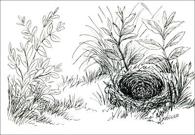 nidos de Chingolo Zonotrichia capensis