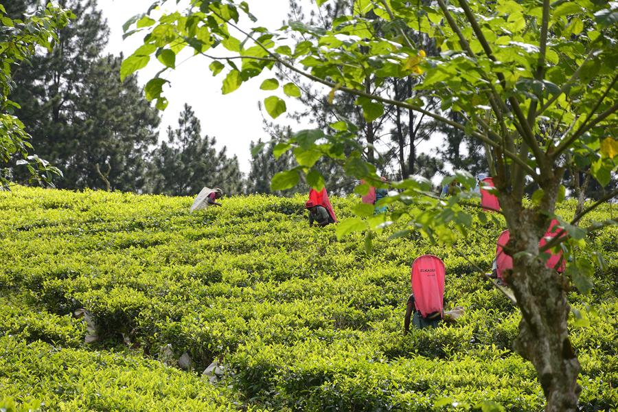 Zbiór herbaty na Sri Lance