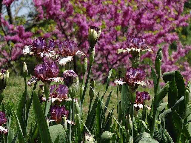 Floraisons 2016 de nos grands iris barbus et Bilan - Page 3 DSC07183
