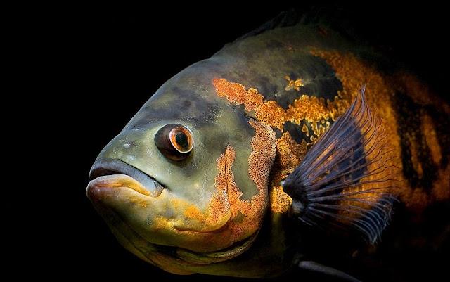 Gambar Ikan Oscar - Budidaya Ikan