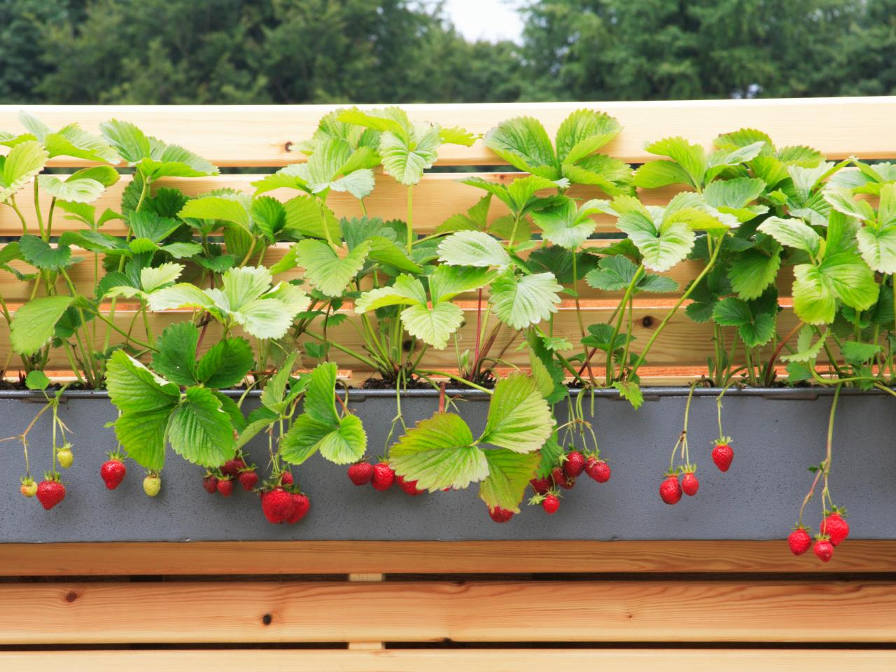 Develop Strawberries in a Window Box  ! Garden Bible