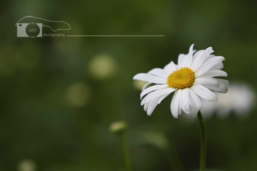 Beautiful shot of a single daisy!
