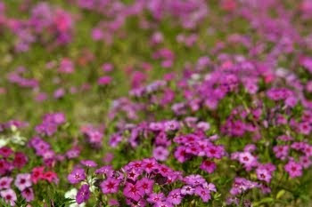 Phlox (Phlox subulata) in Florida © Cornelia Schaible