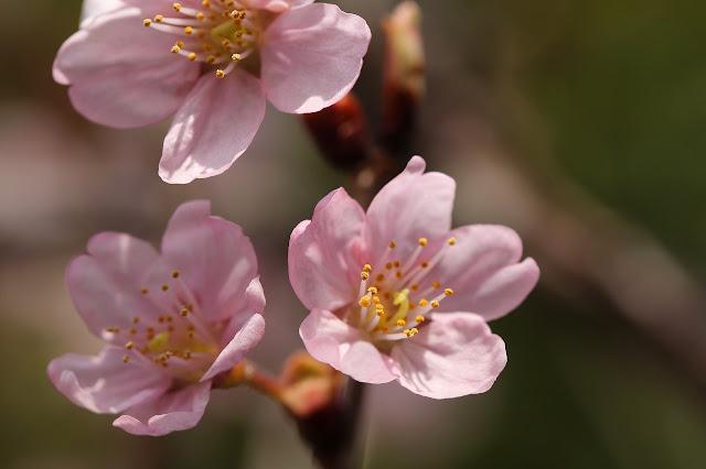さくらんぼ公園 寒緋桜