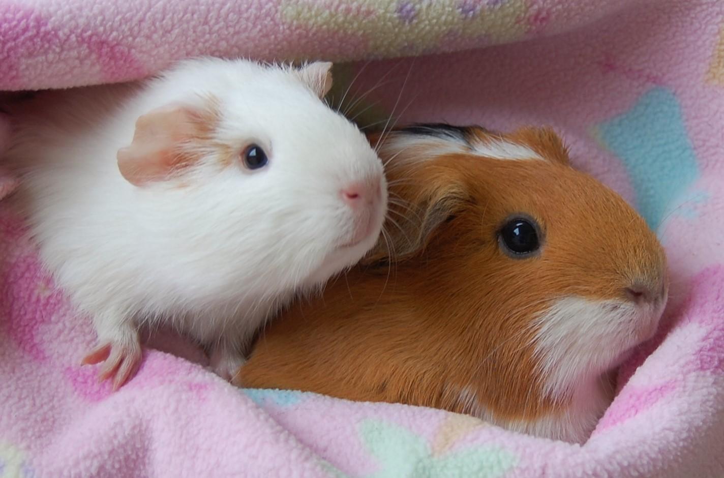 guinea pig adoption sites