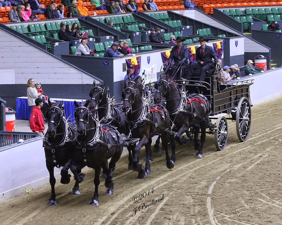 Eaglesfield Percherons Tandem Driving Drafts