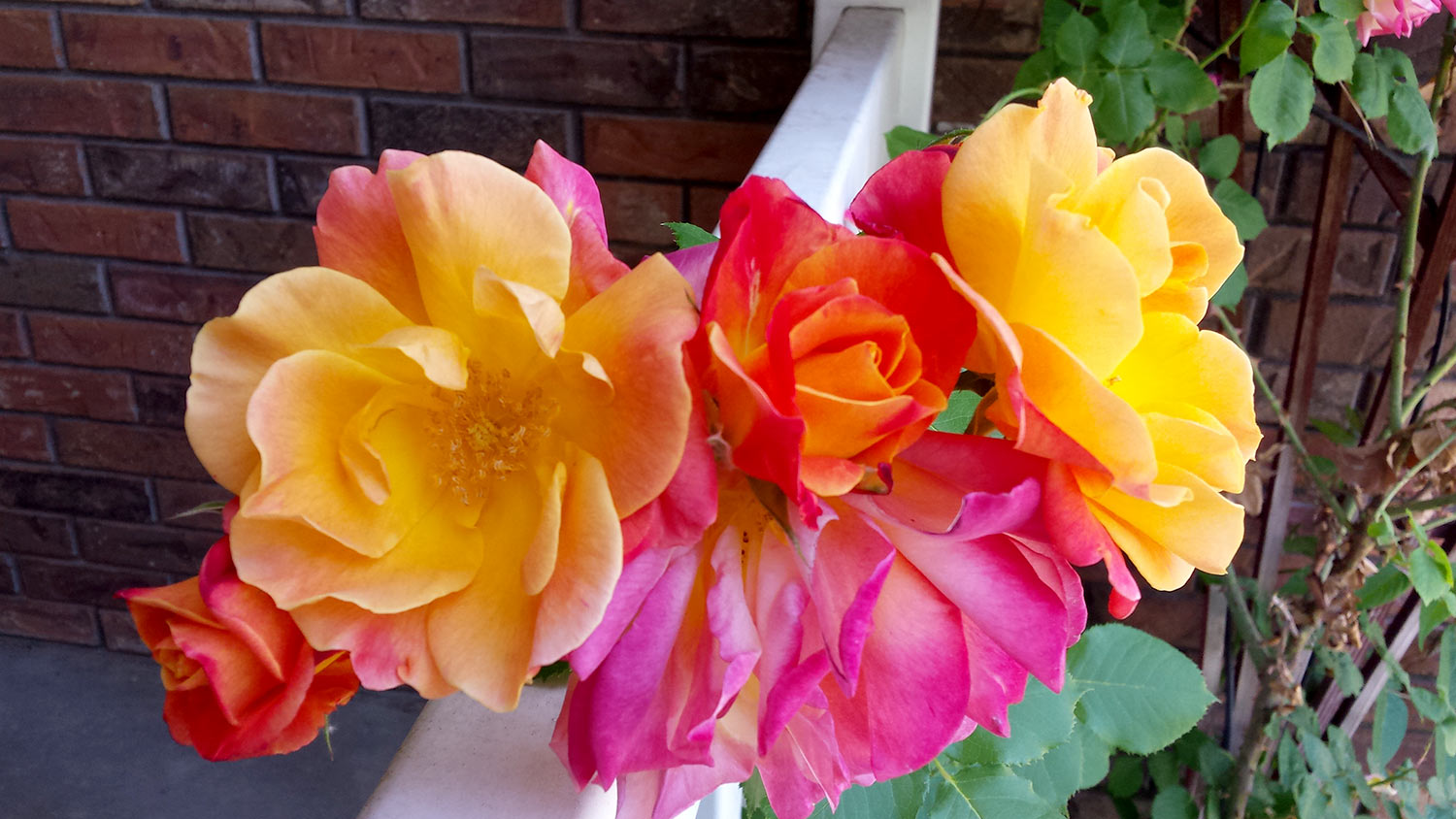 Life savers april photos lead to may photos it rhymes for Color changing roses