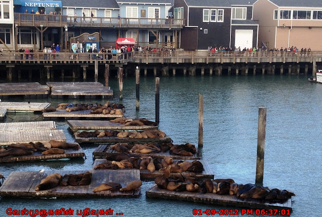 California sea lions in Pier 39