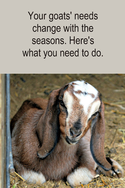 Your goats' needs change with the seasons. Here are the changes you need to make to your herd maintenance routines.