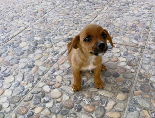 cachorro tamano pequeno