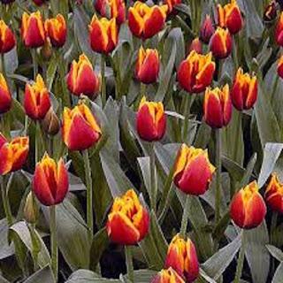 Tulip Tulipa flower - berbagaireviews.com