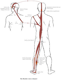 Anatomy of the Sinew Channels: The Gluteus Maximus and