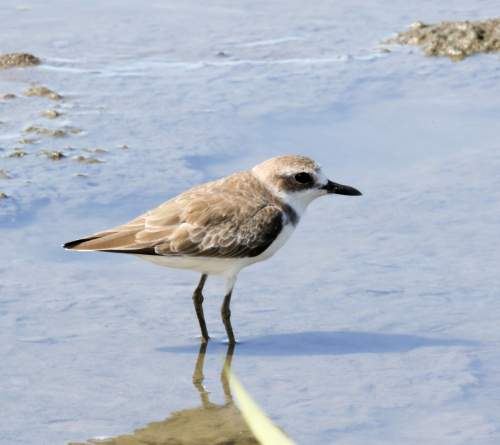 Birds of India - Photo of Greater sand plover - Charadrius leschenaultii