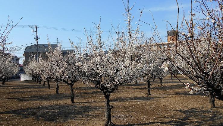 白い花が咲き乱れる梅園