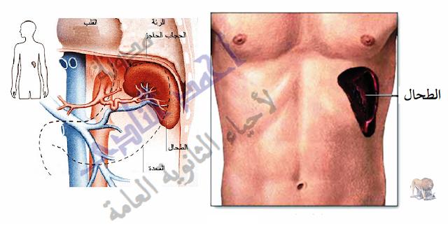 الجهاز المناعى - تركيب - الأعضاء الليمفاوية المحيطية - الطحال