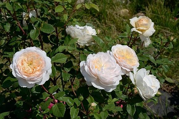 Crocus Rose сорт розы фото Минск