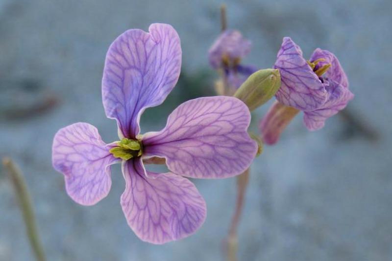 Detalle de la flor lila de Moricandia arvensis