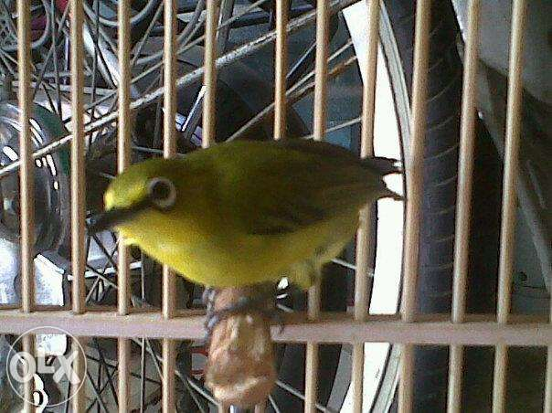 Free Download Mp3 Suara Burung Pleci Lombok Gacor