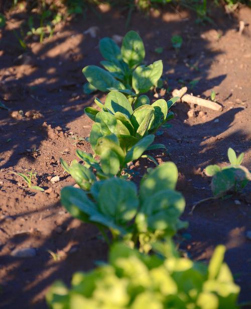 Gardening; spinach | My Darling Days