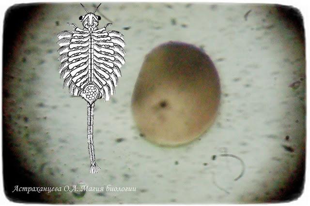 цисты-артемии-под-микроскопом