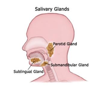 Cuales son las glandulas salivales y donde se ubican