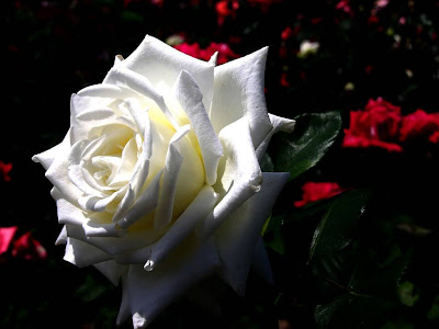 White Rose Normal Resolution HD Wallpaper 13