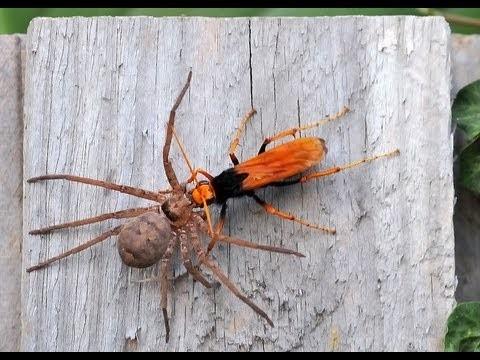 El Terror De Las Arañas, La Avispa Zatypota