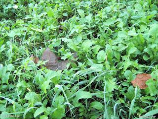 Ρόκα σπορά φύτεμα καλλιέργεια