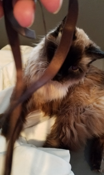 image of Matilda the Fuzzy Sealpoint Cat playing with a brown ribbon that I am dangling in front of her