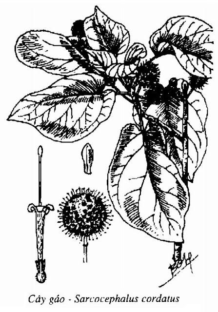 Hình vẽ Cây Gáo - Sarcocephalus cordatus - Nguyên liệu làm thuốc Chữa Cảm Sốt
