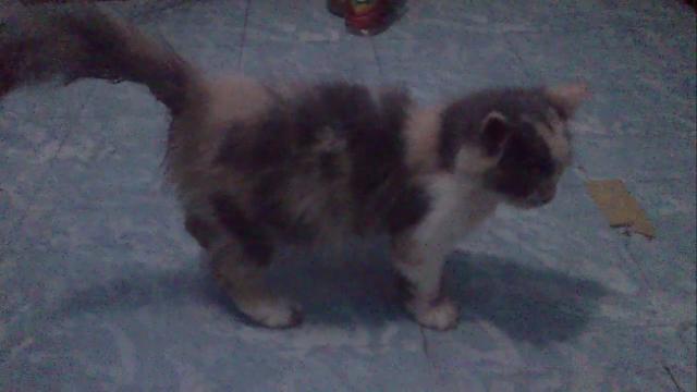 Hip Joint Dysplasia Pada Kucing Persia (Case Report)