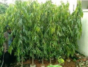 Jual pohon glodogan tiang di tangerang