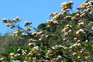 White Flower Tree in Puriscal