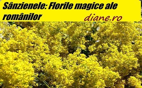 Sânzienele: Florile magice ale românilor