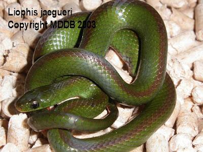 gray snakes