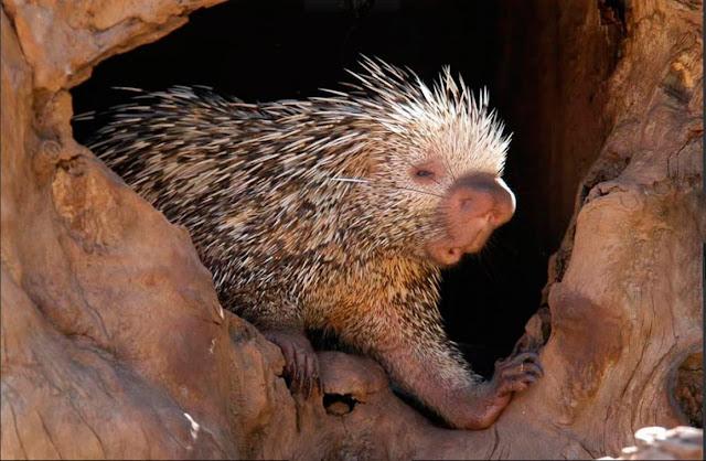 Ouriço-caixeiro é um animal pacífico
