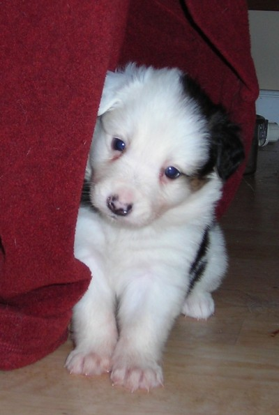 Cute Border Collie Puppies Pictures ~ BLOG OF CUTE PUPPIES ...