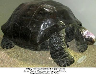 Imagen de la tortuga de la Isla La pinta de perfil. Foto de tortuga tomada por Jesus Gómez
