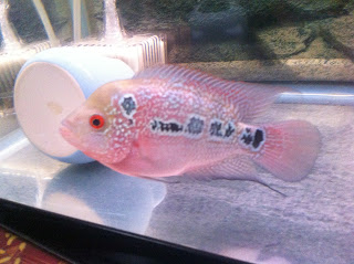 Glutton with her cat: Flowerhorn for sale