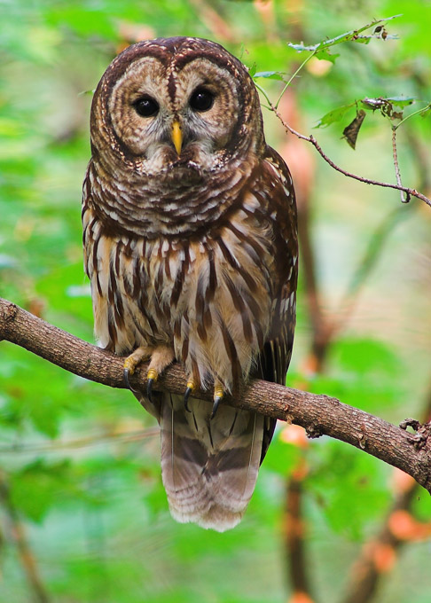 Basic Information Owls